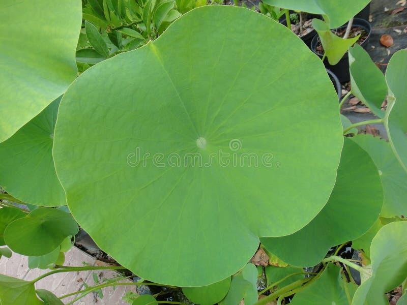 Mega leaf Nelumbo nucifera macro background east indian lotus fine art in high quality prints family nelumbonaceae. Mega leaf Nelumbo nucifera macro background stock photo