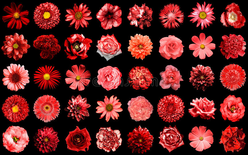 Mega pack of natural and surreal red flowers 40 in 1 isolated. On black royalty free stock photography