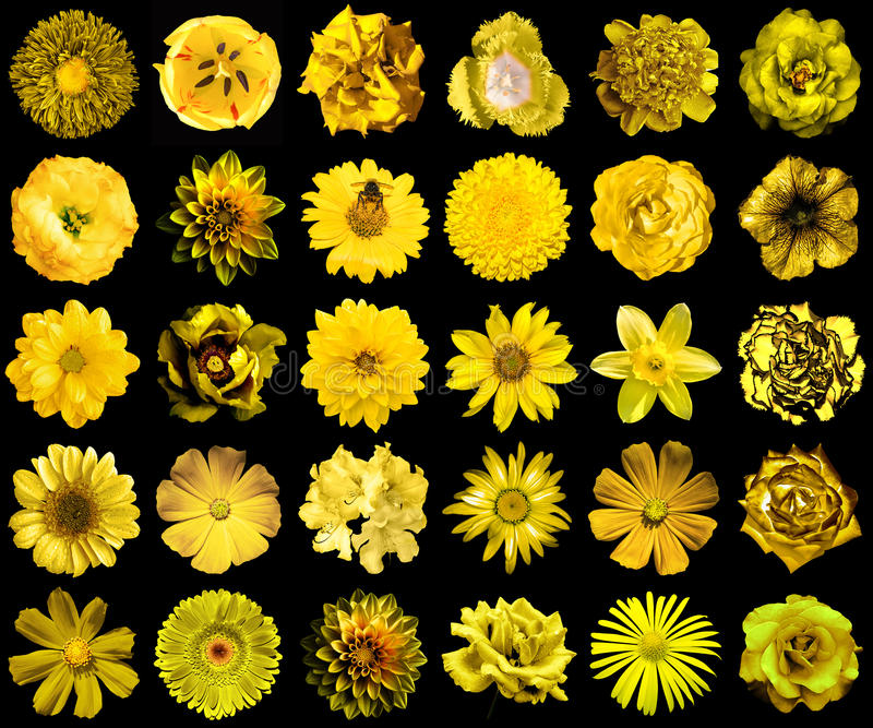 Mega pack of natural and surreal yellow flowers 30 in 1 isolated. On black stock images
