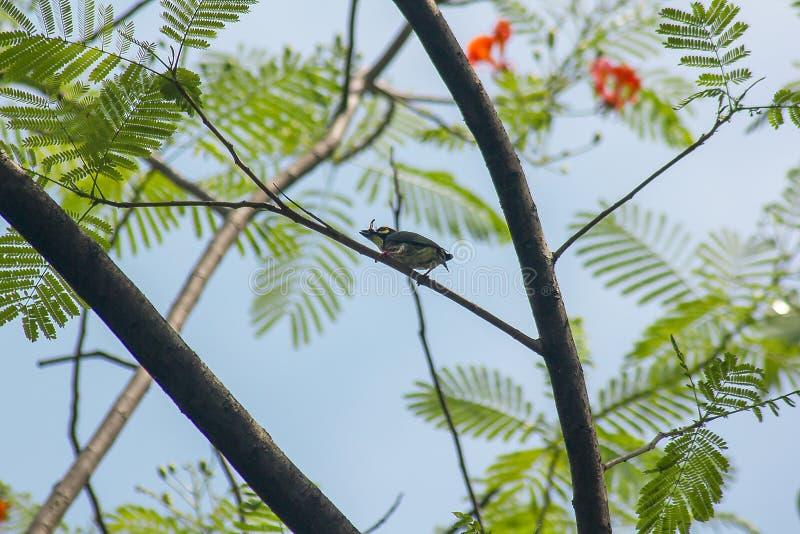 Megalaima-haemacephala ist auf dem Baum stockfoto