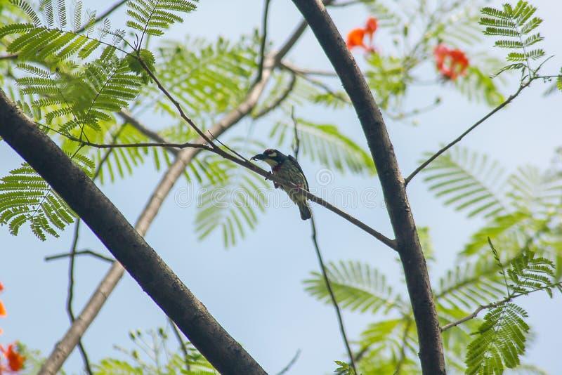 Megalaima-haemacephala ist auf dem Baum stockbild