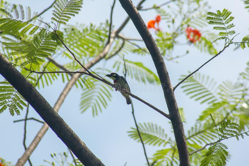 Megalaima-haemacephala ist auf dem Baum lizenzfreies stockfoto