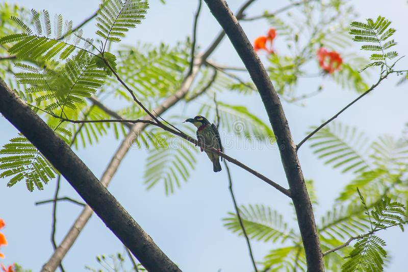 Megalaima-haemacephala ist auf dem Baum stockfotografie