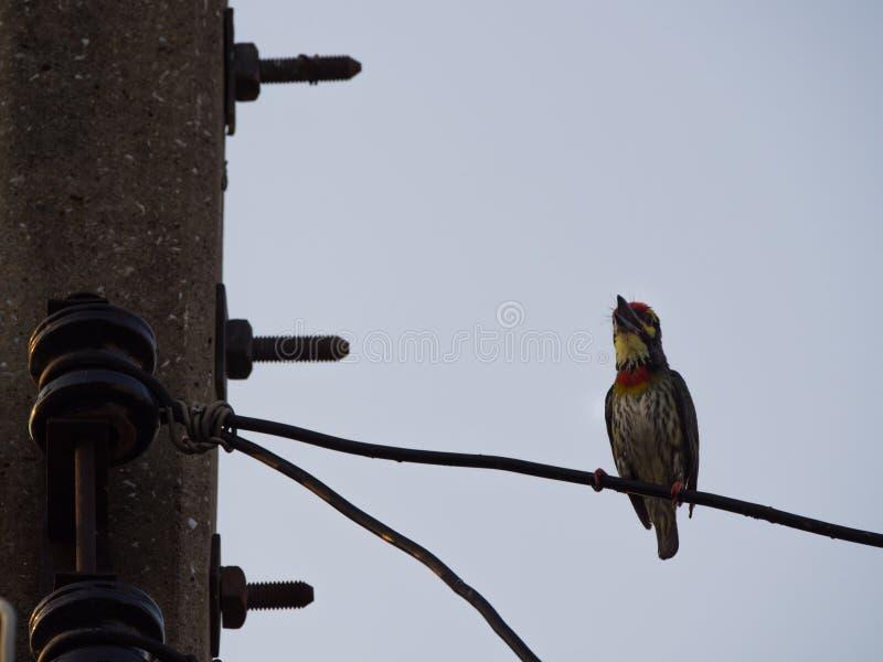 Megalaima Lineata Bird Singing royalty free stock photography