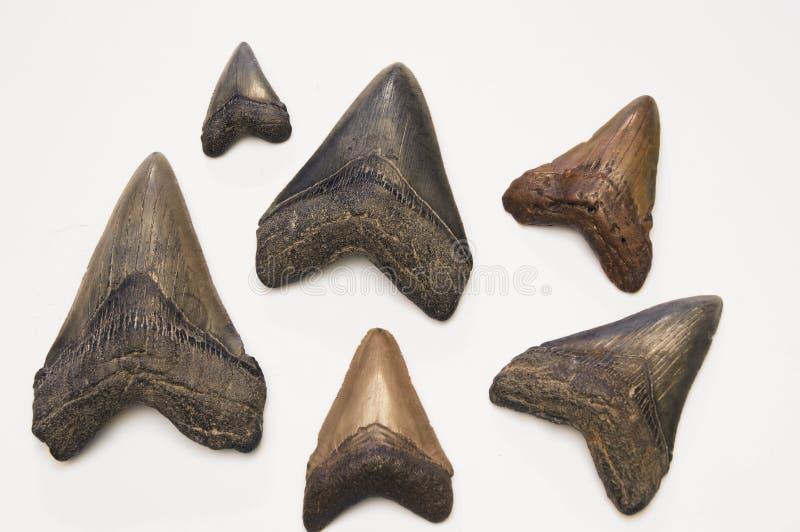 Megalodon teeth stock photography