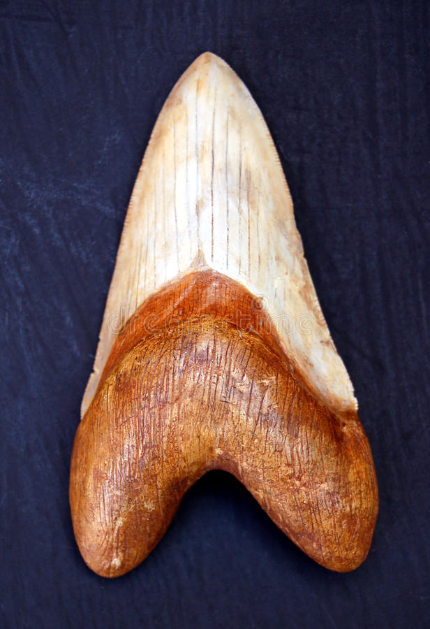 Megalodon Tooth. Ancient megalodon tooth from giant prehistoric shark royalty free stock photos