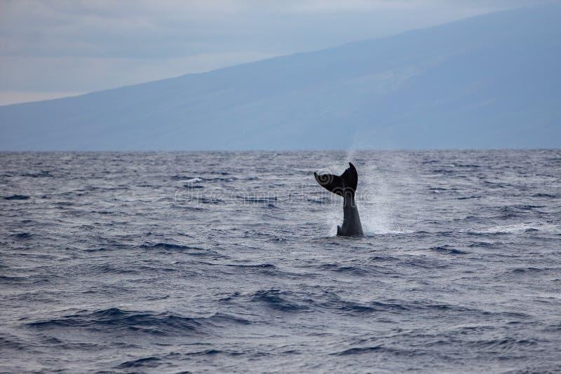 Megaptera novaeangliae dell'aletta di coda della megattera fuori dalla costa di Maui, Hawai immagini stock