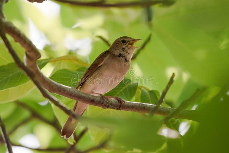 Megarhynchos de Luscinia de rossignol chantant avec le bec ouvert, rossignol passerine d'oiseau de petite grive se reposant sur u photo stock