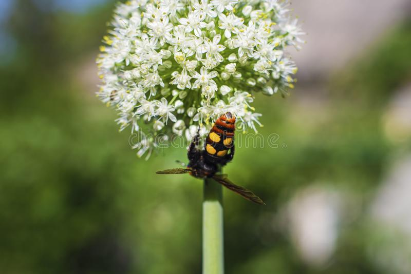 Megascolia maculata Mamutowa osa Scola gigantyczna osa na cebulkowym kwiacie Scola lat Megascolia maculata jest gatunki ampuła obrazy royalty free