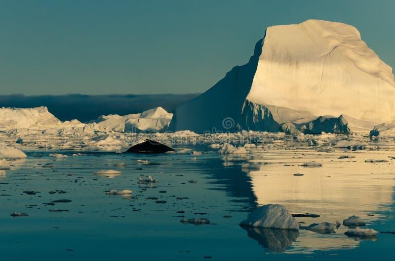Megattera fra gli iceberg in icefjord di Ilulissat, Groenlandia ad ovest fotografia stock libera da diritti