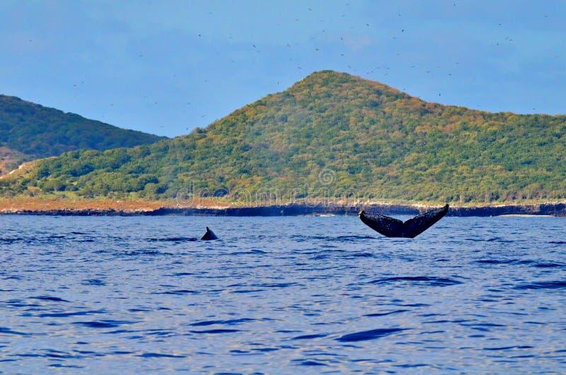 Megattere che nuotano sulla superficie fotografie stock