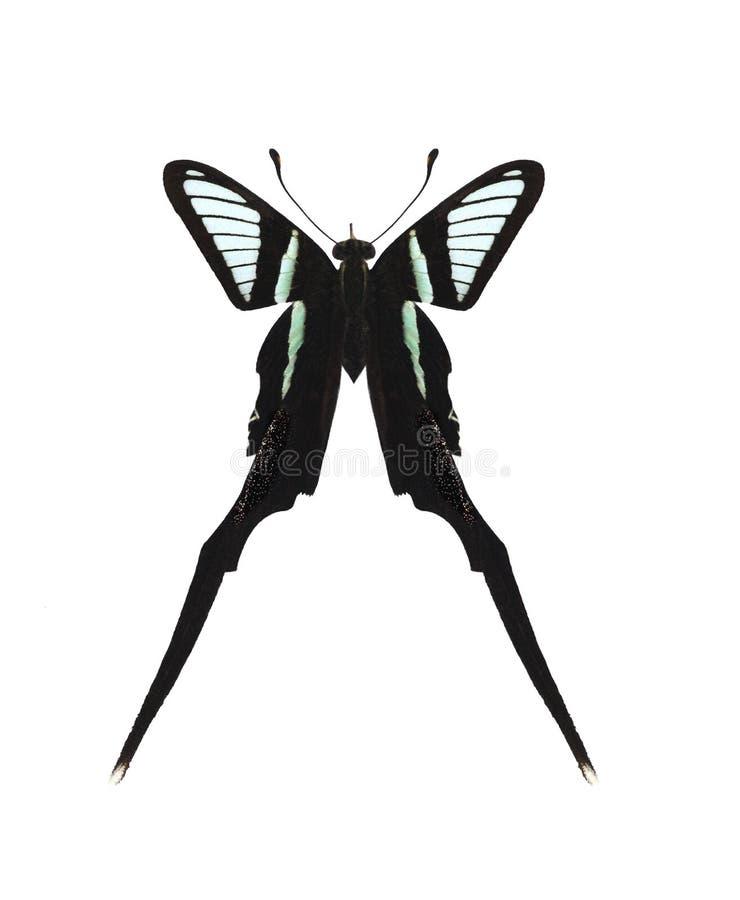 Meges de Lamproptera (Dragão-cauda verde) foto de stock royalty free