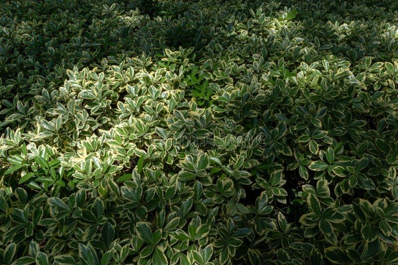 Megistophylla Buxus στοκ φωτογραφία με δικαίωμα ελεύθερης χρήσης