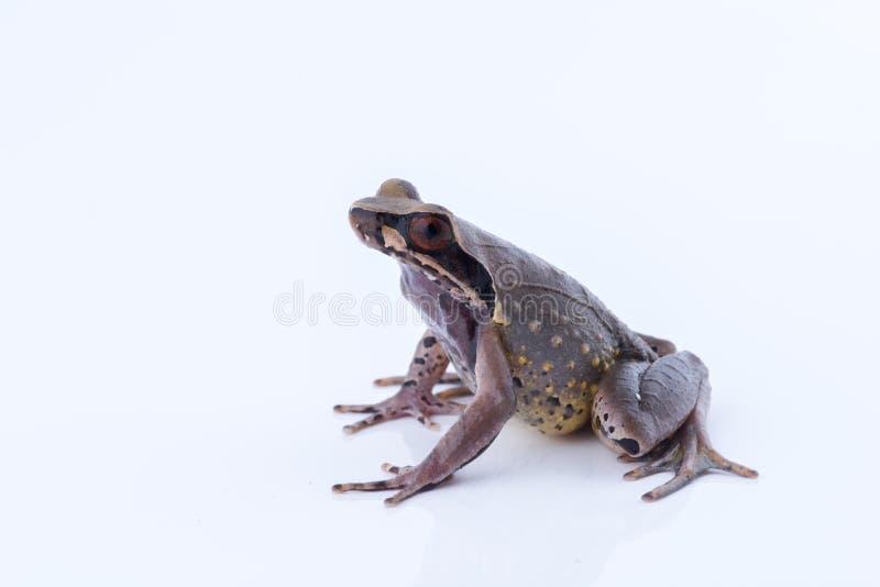 Megophrys parva Lesser Stream Horned Frog: groda på vitbaksida arkivfoton