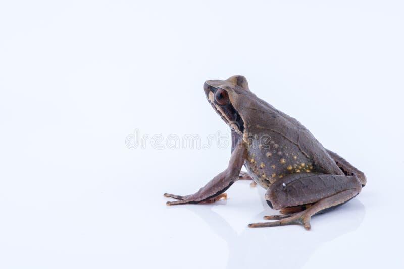 Megophrys parva Lesser Stream Horned Frog: groda på vitbaksida royaltyfri fotografi