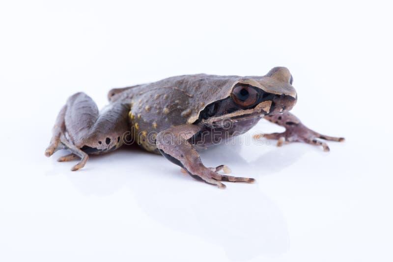 Megophrys parva Lesser Stream Horned Frog: groda på vitbaksida royaltyfri foto