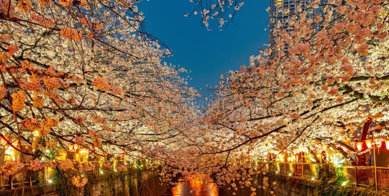 Meguro Sakura (Cherry blossom) Festival. Cherry blossom full bloom in spring season at Meguro river, Tokyo, Japan. Many visitors to Japan choose to travel in stock photos