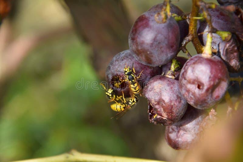 Mehr Bienen stockfotografie