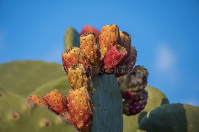 Mehrfache Kaktusfrüchte auf einem Kaktusblatt in der Wildnis von Malta-Insel lizenzfreies stockfoto
