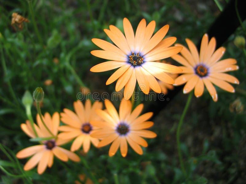 Download Mehrfache orange Blumen stockfoto. Bild von blau, betriebe - 29518