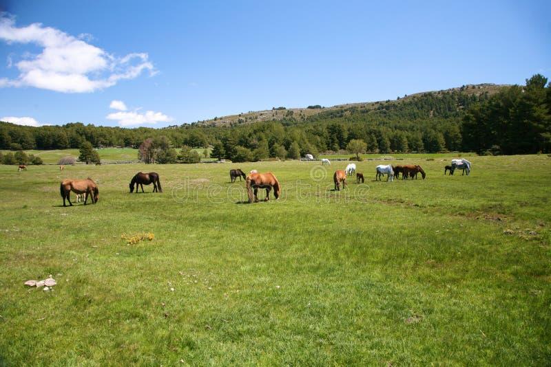 Mehrfache weiden lassende Pferde stockfotos