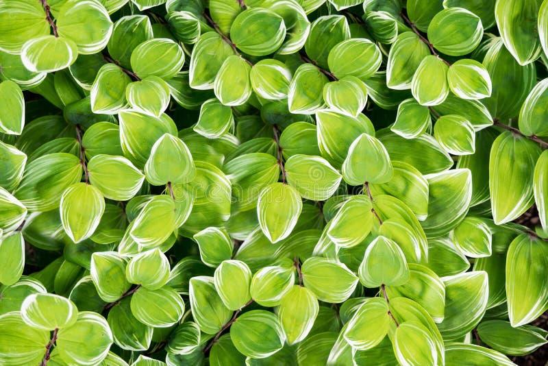 Mehrfarbige Blätter benutzt als Hintergrund Die dichten Laubbögen werden in Gruppen gruppiert stockfotos