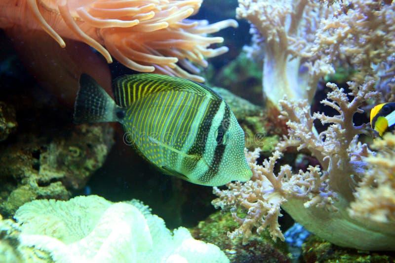 Mehrfarbige gestreifte Fische, die unter großen Algen und Korallen schwimmen lizenzfreie stockfotos
