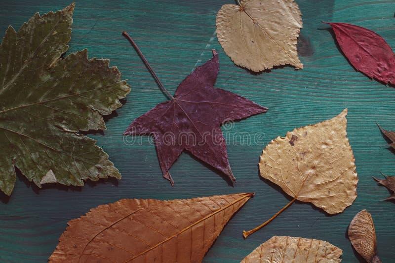 Mehrfarbige Herbstblätter Schließen Sie herauf Ansicht der Herbstlaubsammlung auf blauem hölzernem Hintergrund lizenzfreie stockfotos
