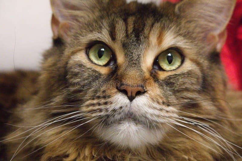 Mehrfarbige Katze betrachtet sorgfältig der Kamera großer KatzeMaine-Waschbär stockfotos