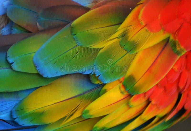 Mehrfarbige Keilschwanzsittich-Federn stockbilder