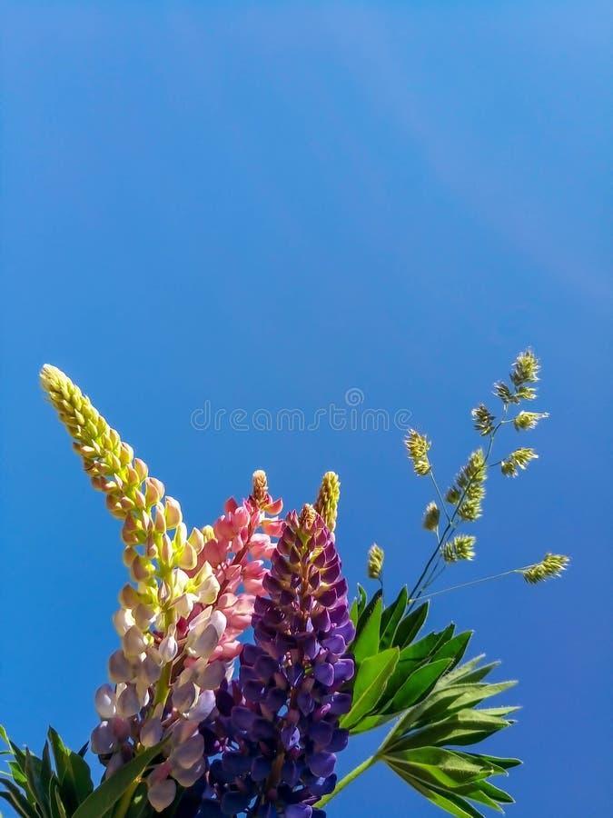 Mehrfarbige Lupinen gegen die Himmelblüte stockbild