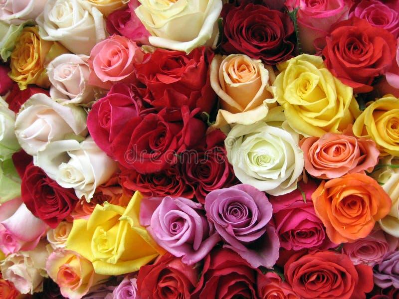 Mehrfarbige Rosen stockbilder