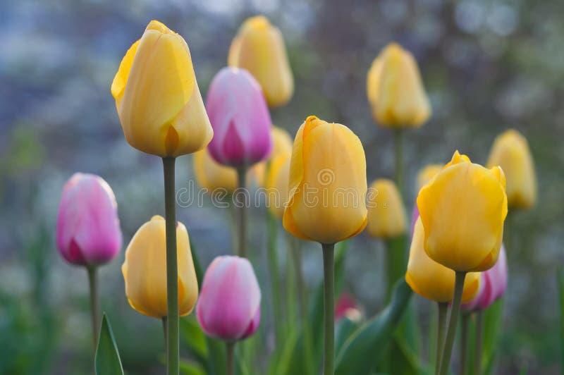 Mehrfarbige Tulpen der Blüte Gerade ein geregnet stockfotografie