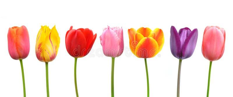 mehrfarbige tulpen in einer reihe stockbild bild von rand farbe 24386657. Black Bedroom Furniture Sets. Home Design Ideas