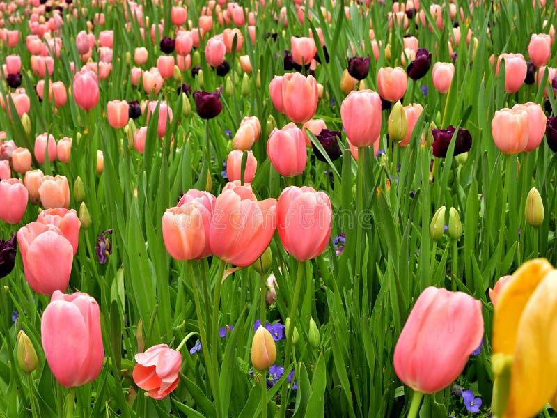 Mehrfarbige Tulpenstammansicht stockfotos
