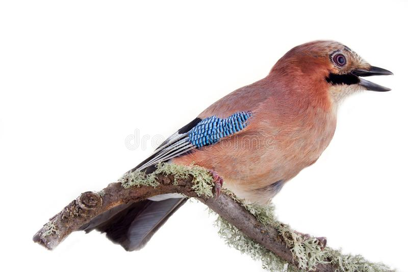 Mehrfarbiger Jay mit blauem Spiegel auf Flügel Vogelporträt stockfoto