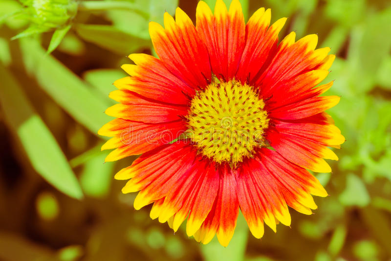 Mehrjährige Pflanze der umfassenden Blume stockfotos