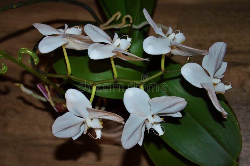 Mehrjährige Pflanze ist eine Art von krautartigem, Blüte mit den eleganten Knospen von verschiedenen Formen stockfotografie