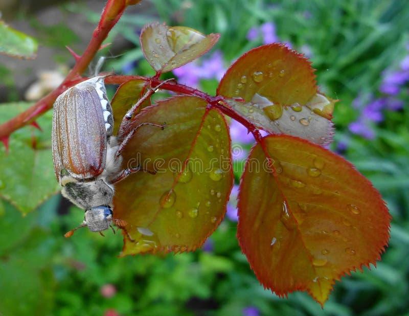 Mei-insect op de bladeren van nam toe stock afbeeldingen