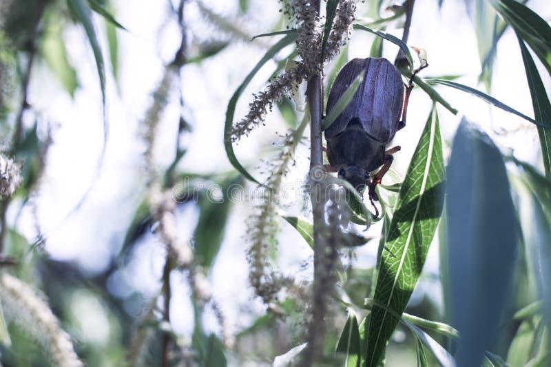Mei-insect op een wilgentak stock foto's
