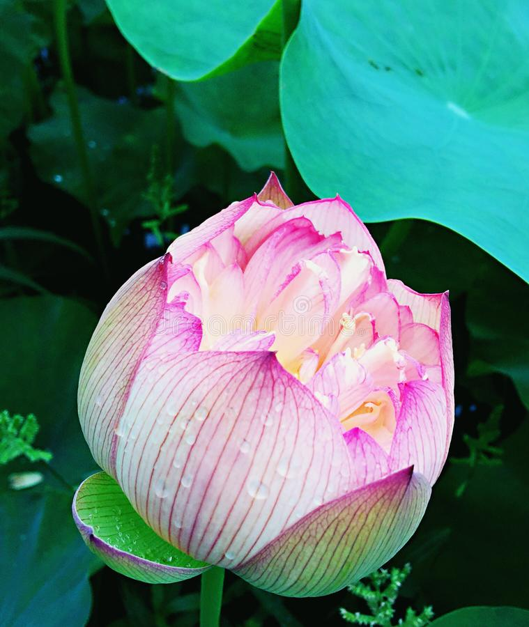 Meia flor de lótus de florescência imagem de stock royalty free