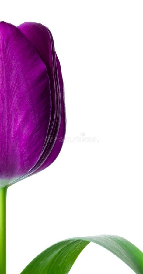 Meia flor do tulip imagens de stock royalty free