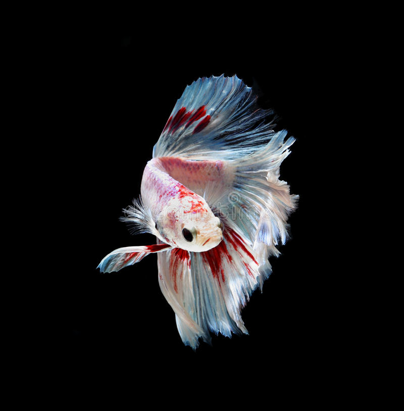 Meia lua de combate siamese vermelha e branca dos peixes, isolat dos peixes do betta imagem de stock royalty free