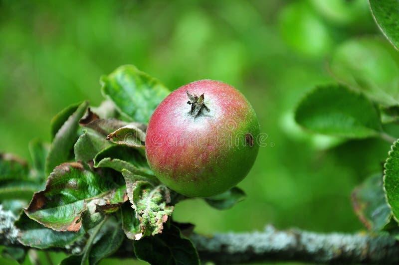 Meia maçã madura do brettacher do cultivar foto de stock royalty free