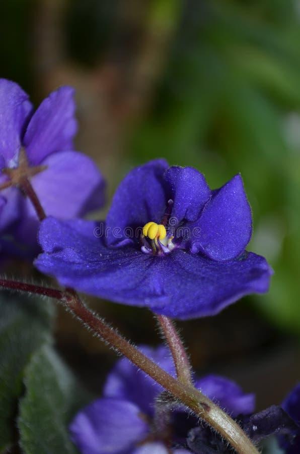 Mein großer blauer Blumenglanz stockbilder