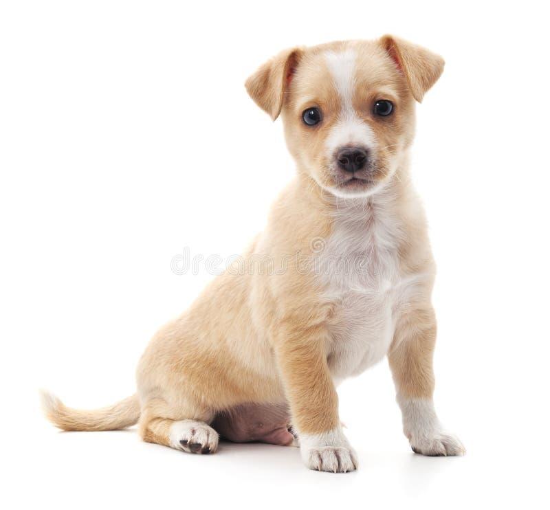 Download Mein Hund 016 stockfoto. Bild von nett, klein, pedigreed - 90235420
