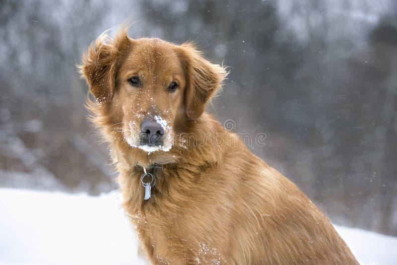 Mein Hund liebt den Schnee lizenzfreies stockbild
