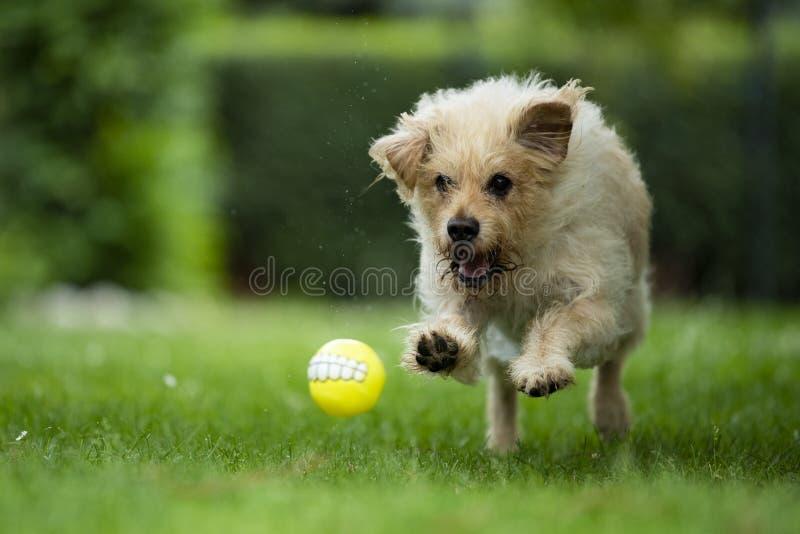 Mein Hund mit meinem Lieblingsball stockfoto