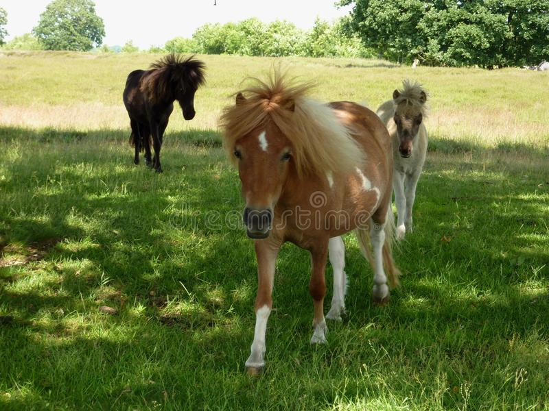 Mein kleines Pony auf dem Gebiet stockfoto