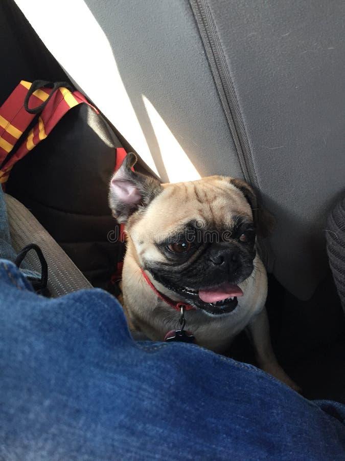 Mein lustiger Pug 2. stockfoto